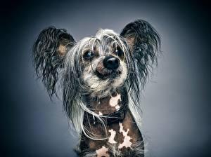 Фотография Собаки Китайская хохлатая Смотрит Морда