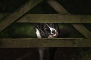 Фотография Собаки Забор Доски Бордер-колли Животные