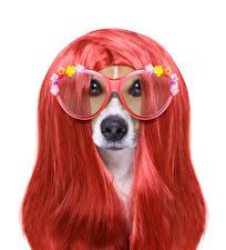 Фото Собаки Белый фон Джек-рассел-терьер Волосы Очки Взгляд Животные