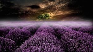 Фотографии Вечер Поля Лаванда Туман Природа