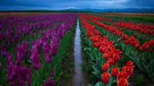 Обои Поля Тюльпаны цветок