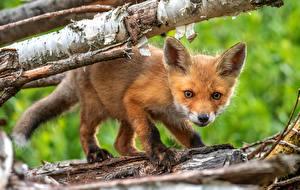 Фото Лисы Детеныши Смотрит Животные