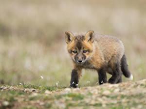 Фотографии Лисица Детеныши Смотрит Животные