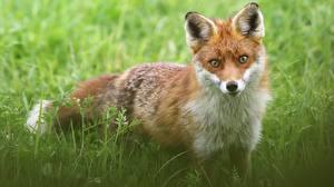 Картинка Лисица Смотрит Животные
