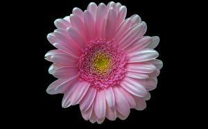 Картинка Герберы Крупным планом Розовые На черном фоне Цветы