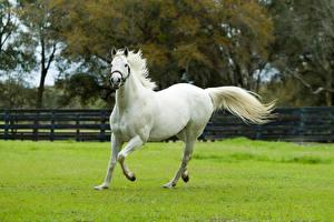 Картинки Лошади Трава Белый Бег Животные