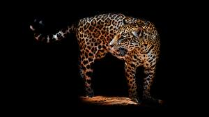 Фотографии Леопарды Черный фон Животные
