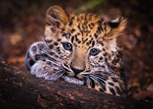 Обои Леопарды Детеныши Взгляд Морда