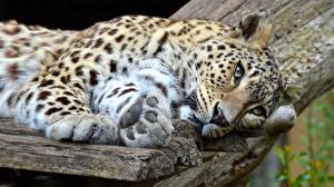 Фотография Леопарды Лапы Взгляд