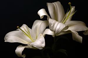 Обои Лилии Крупным планом 2 Белых Цветы
