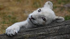 Обои Львы Детеныши Смотрит Морда Белый Животные
