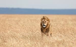 Картинка Львы Трава