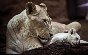 Картинки Львы Львица Детеныши Белый
