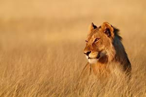 Обои Львы Львица Взгляд Животные
