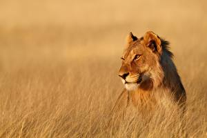 Обои Лев Львица Взгляд