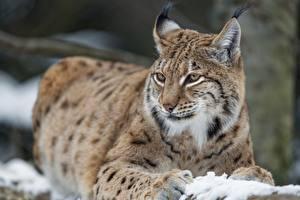 Фотография Рысь Взгляд животное