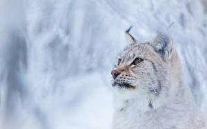 Фото Рысь Смотрит Морда Животные