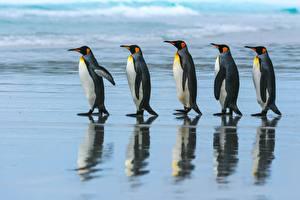 Фотографии Пингвины Гуляет 5 King penguin Животные