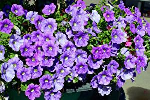 Фотографии Петунья Вблизи Фиолетовый Цветы