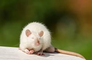 Картинки Крыса Белый Животные