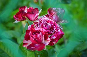 Фото Розы Вблизи Цветы