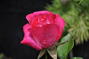 Картинка Розы Вблизи Розовых Капельки Цветы