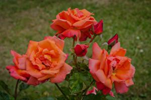 Картинки Розы Крупным планом Розовый Бутон Цветы