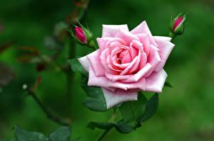 Фото Розы Крупным планом Розовый Бутон Цветы