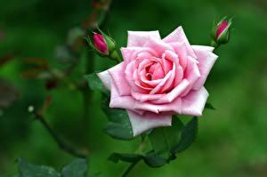 Фото Роза Крупным планом Розовый Бутон Цветы