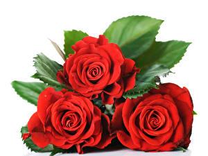 Фото Розы Крупным планом Белый фон Втроем Красный Цветы