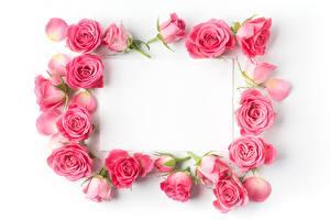 Обои Розы Розовый Шаблон поздравительной открытки Белый фон Цветы