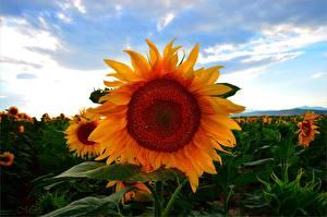 Фотография Подсолнечник Поля Крупным планом Цветы