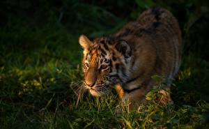 Фотография Тигры Детеныши Трава