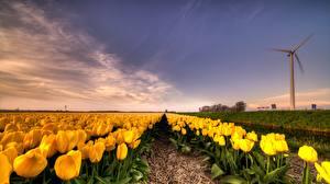 Фотографии Тюльпаны Поля Нарциссы Небо цветок