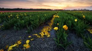 Фотографии Тюльпаны Поля HDRI Цветы