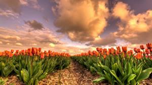 Обои Тюльпаны Поля Оранжевый цветок
