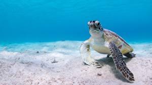 Фотографии Черепахи Подводный мир