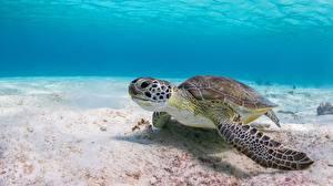 Обои Черепахи Подводный мир