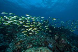 Картинки Подводный мир Кораллы Рыбы Много Животные