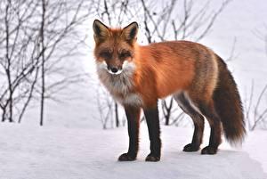 Обои Зимние Лисица Снег Рыжий Смотрит Животные