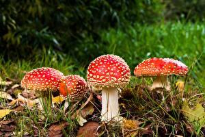 Фотографии Мухомор Грибы природа Вблизи Осенние Листва Трава Природа