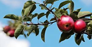 Фотографии Яблоки Вблизи Ветвь Листва Пища
