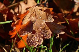 Картинка Осень Крупным планом Листья Капли Acorn Природа