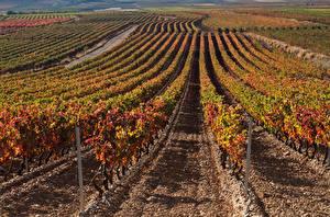 Картинка Осень Поля Виноградник Кусты