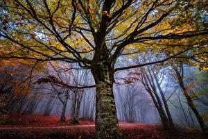 Обои Осенние Леса Деревья Туман Ветки Ствол дерева