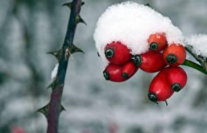 Картинки Ягоды Зимние Крупным планом Снега Шиповник плоды Природа
