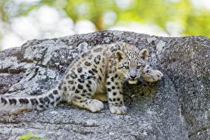 Картинки Большие кошки Леопарды Детеныши