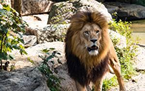 Фото Большие кошки Львы Взгляд Животные