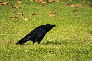 Фото Птицы Вороны Трава Газон Животные