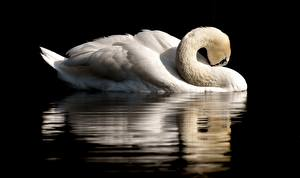 Обои Птицы Лебеди Черный фон Отражение Белый Животные